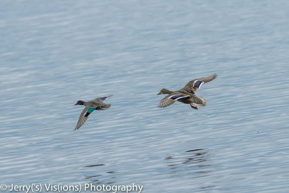 Female mallard following a male green winged teal in flight