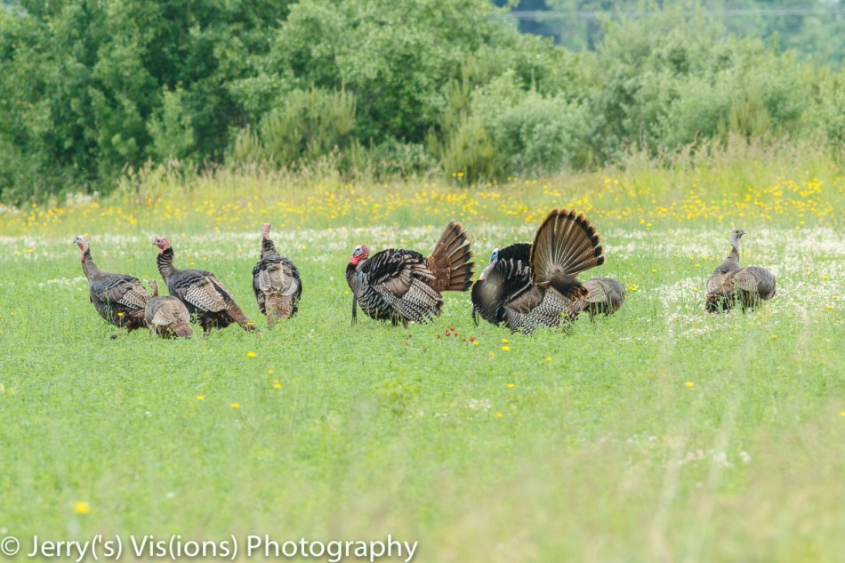 Turkeys and wildflowers