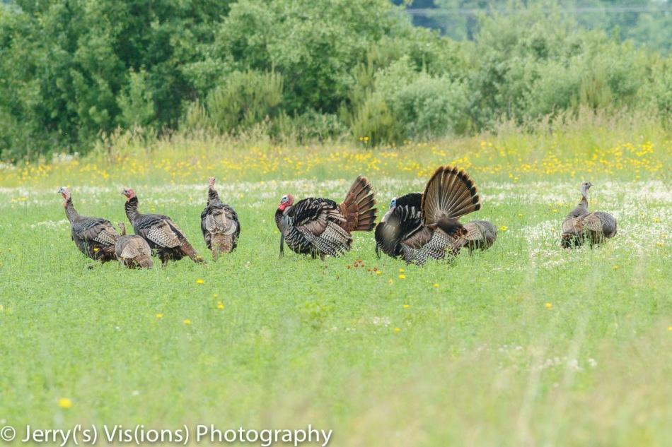 Turkeys and wildflowers