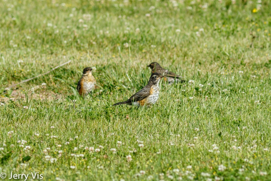 Three juvenile American robins