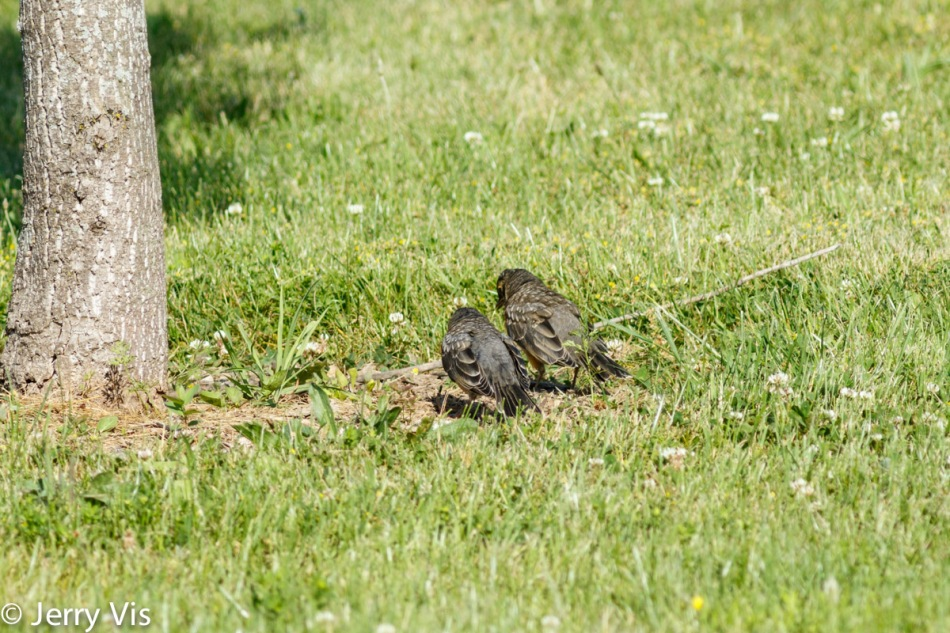 Juvenile American robins in conference