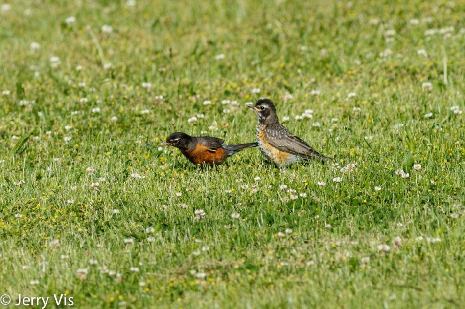 Juvenile American robin waiting for its mother to feed it