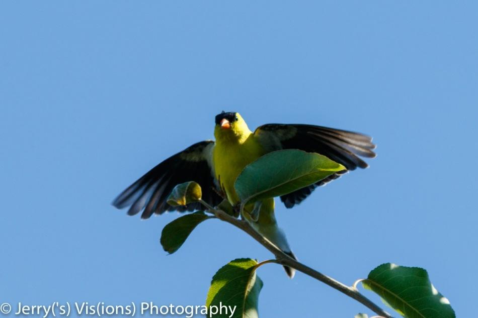 American goldfinch landing