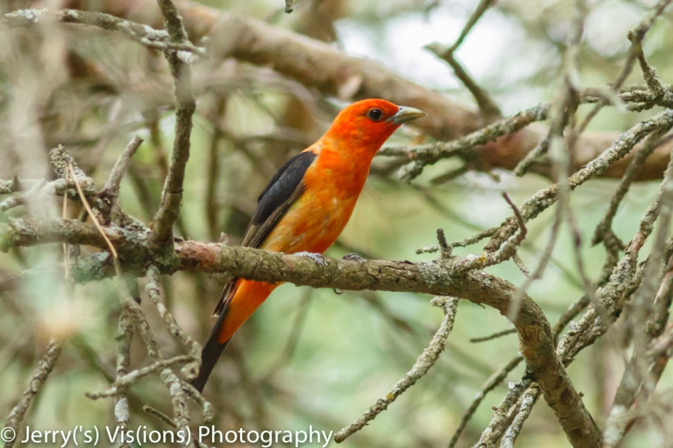 Male scarlet tanager beginning to molt