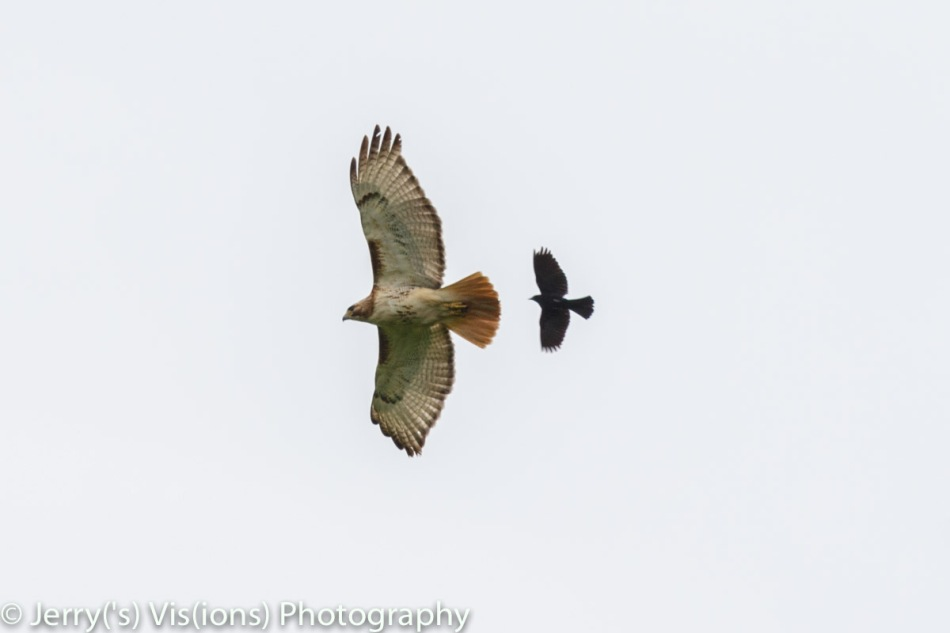 Red-winged blackbird chasing a red-tailed hawk