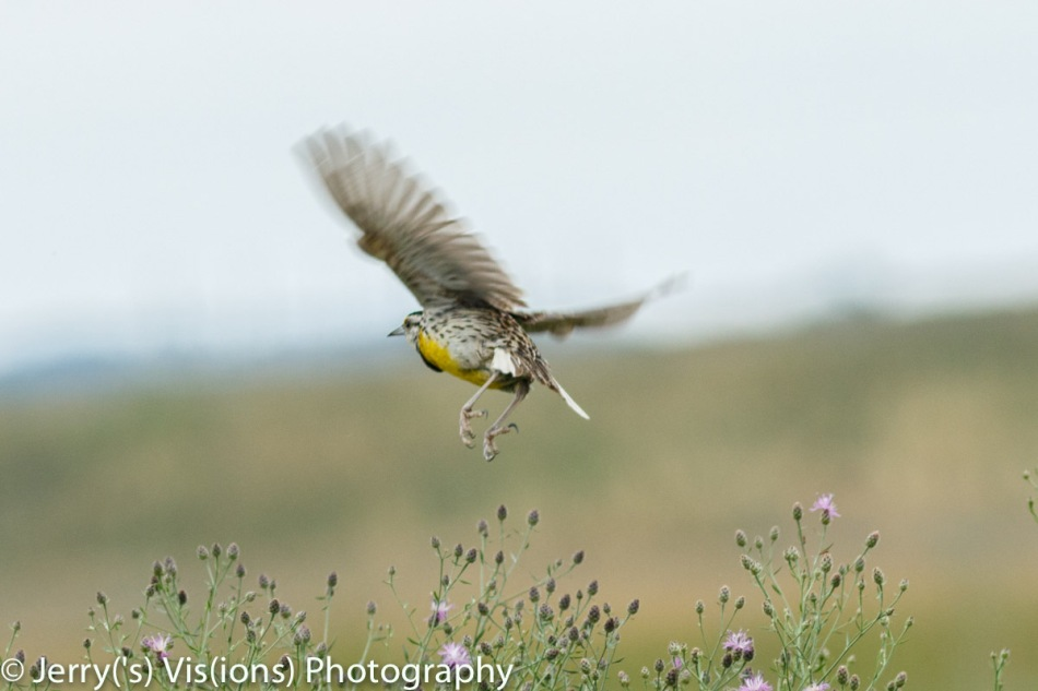 Eastern meadowlark in flight