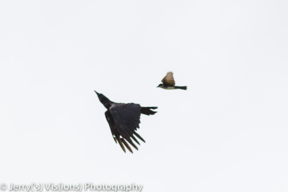 Eastern kingbird attacking an American crow