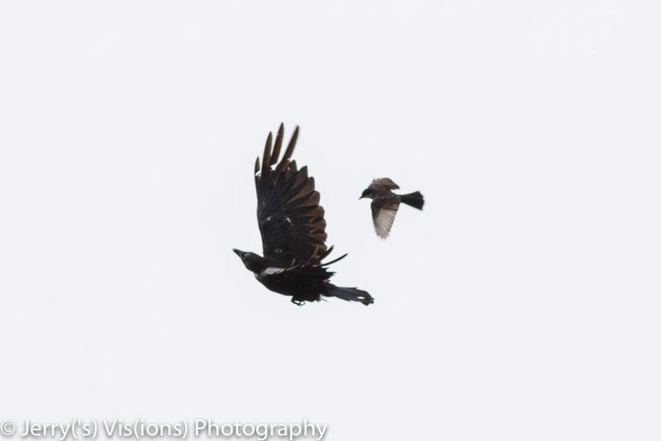Eastern kingbird attacking an American crow