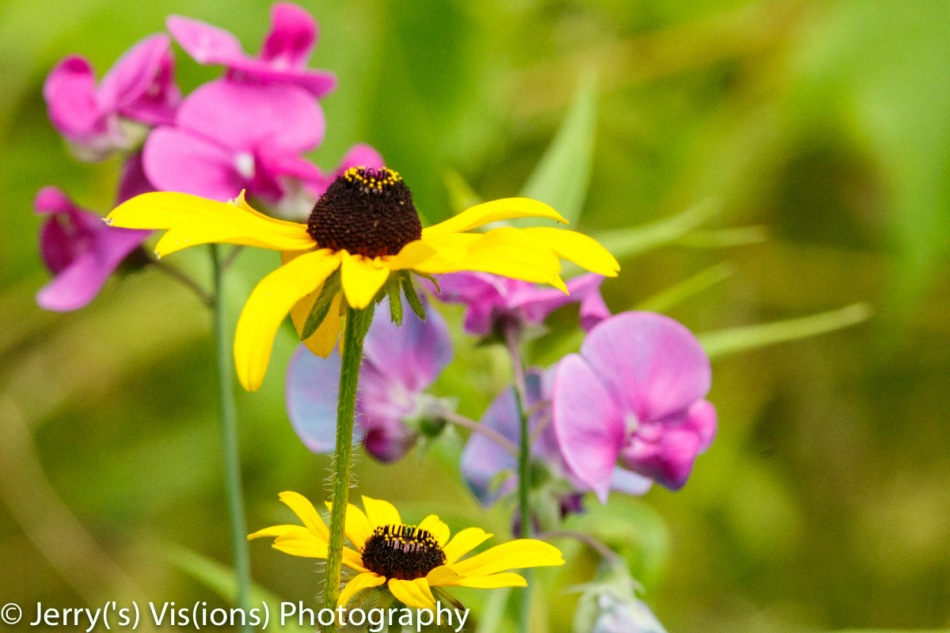 Black-eyed Susan and sweet pea