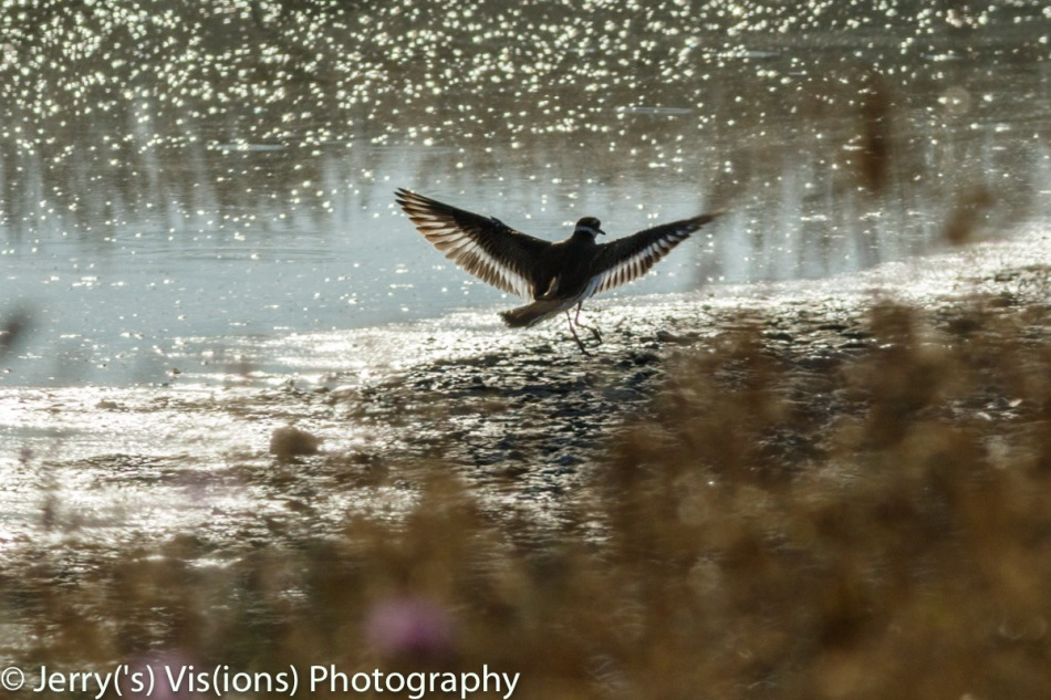 Killdeer landing