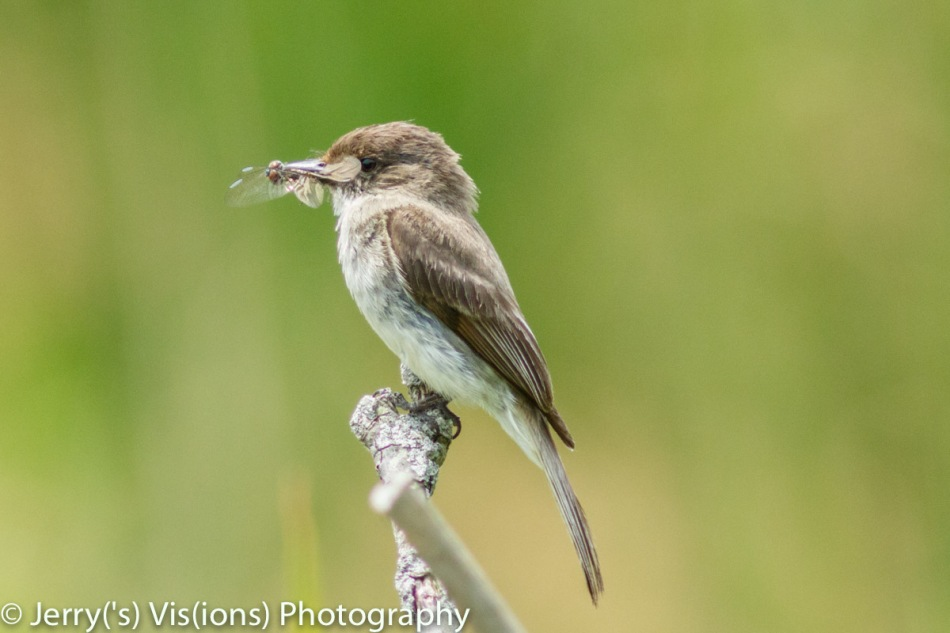 Eastern Phoebe bringing home the bacon