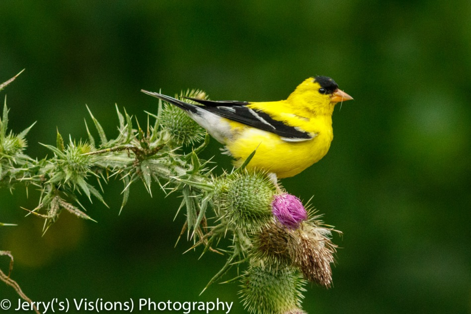 American goldfinch eating thistle seeds