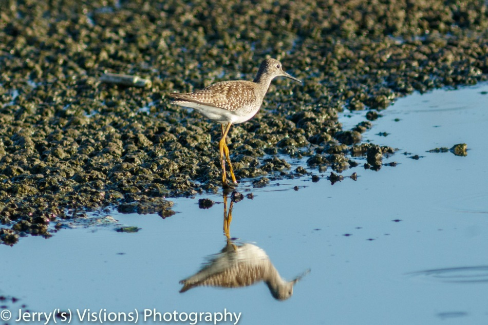 Lesser yellowlegs reflecting