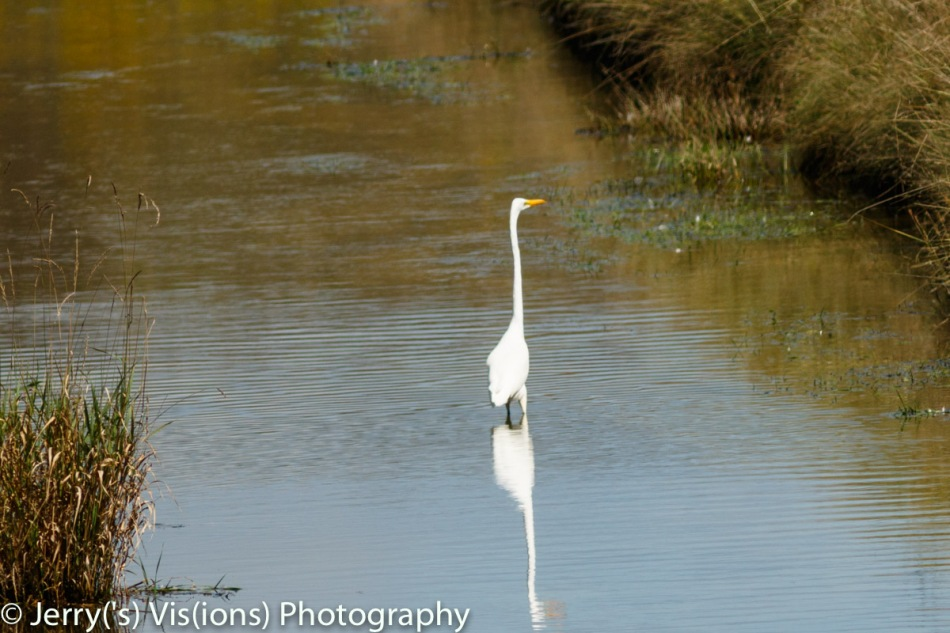 Great egret too far away
