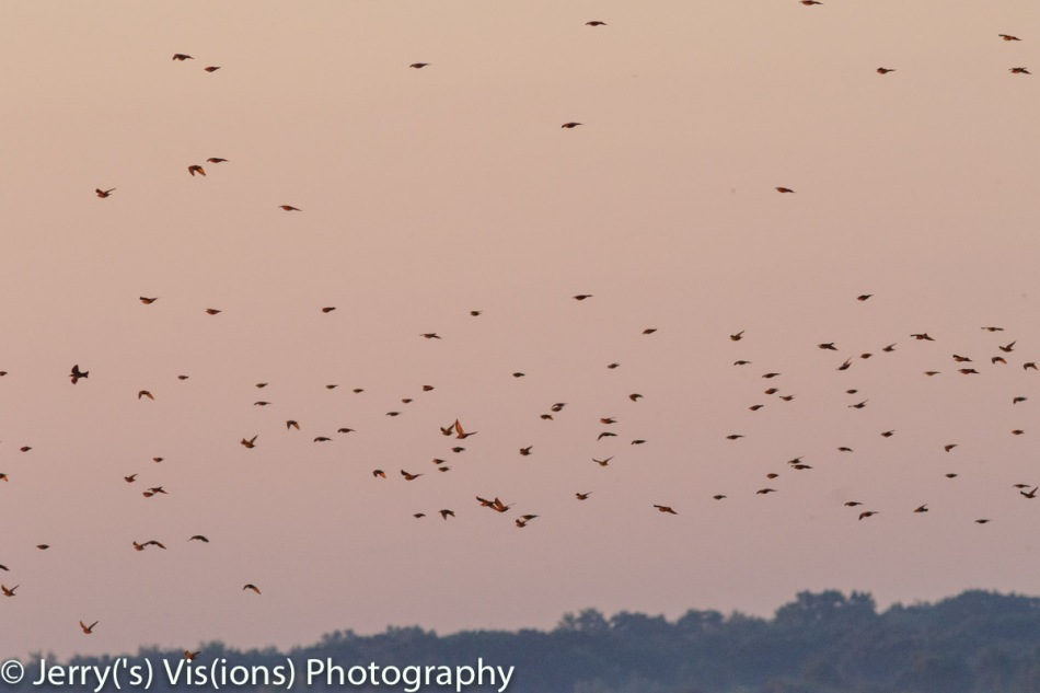 Starlings at dawn