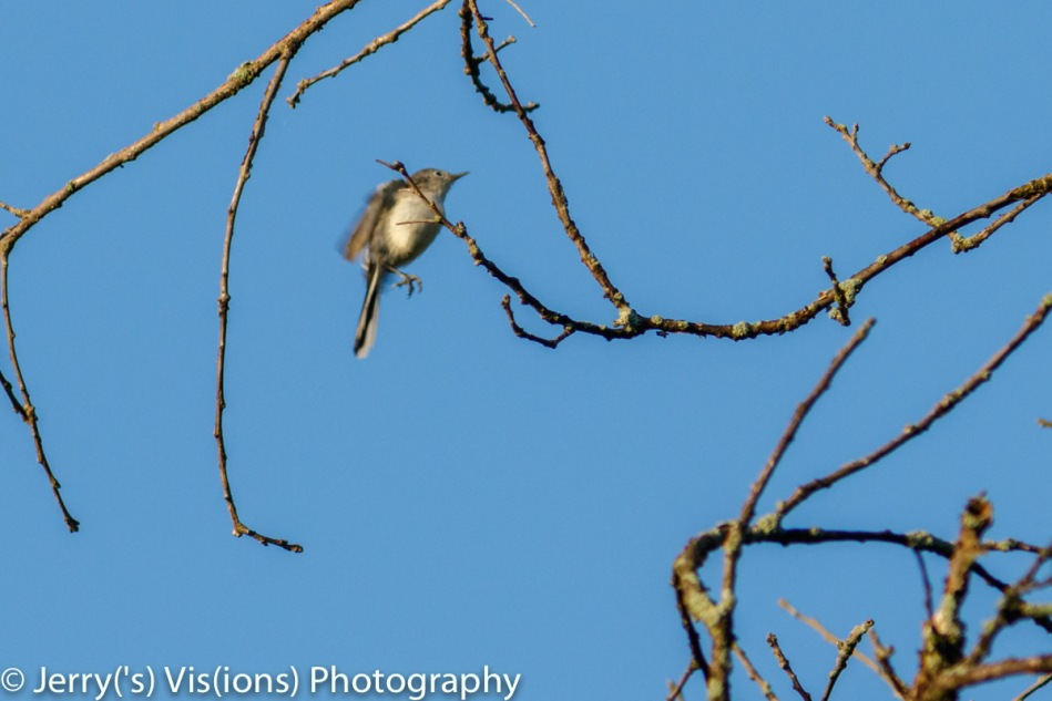 Blue-grey gnatcatcher in flight