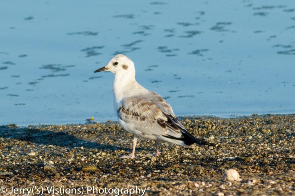 Juvenile Bonaparte's gull