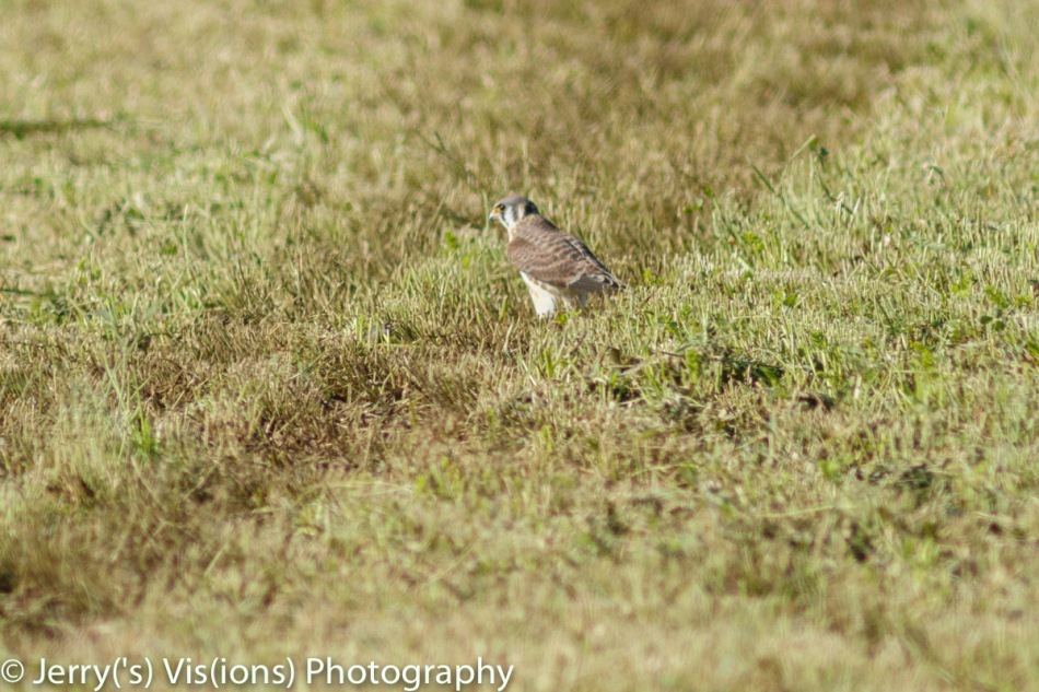 Female or juvenile American kestrel
