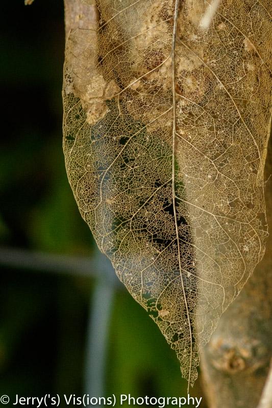 Lacey leaf