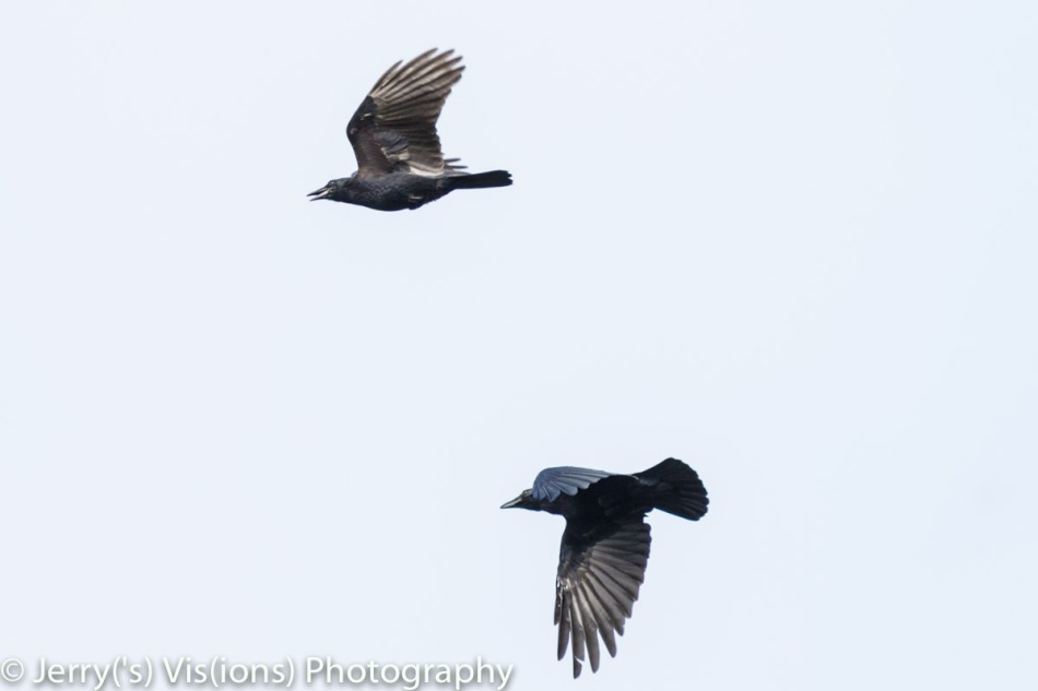 American crows in flight