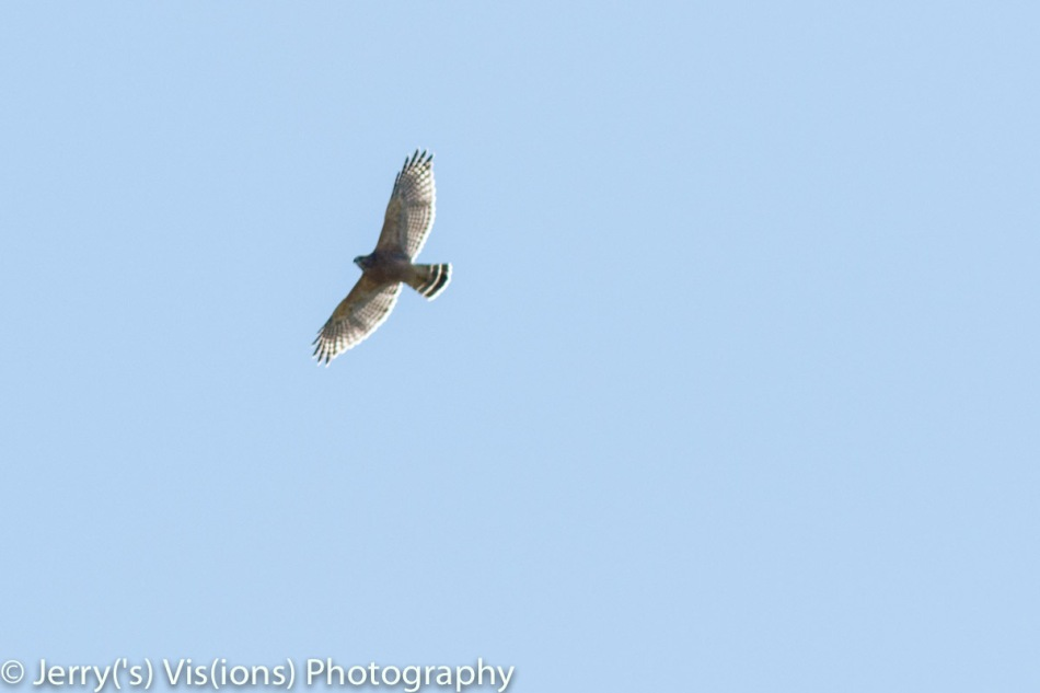Brad-winged hawk in flight