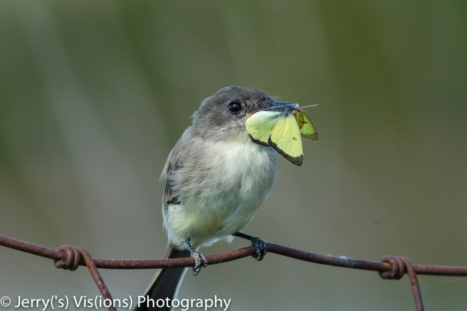 Eastern Phoebe with lunch