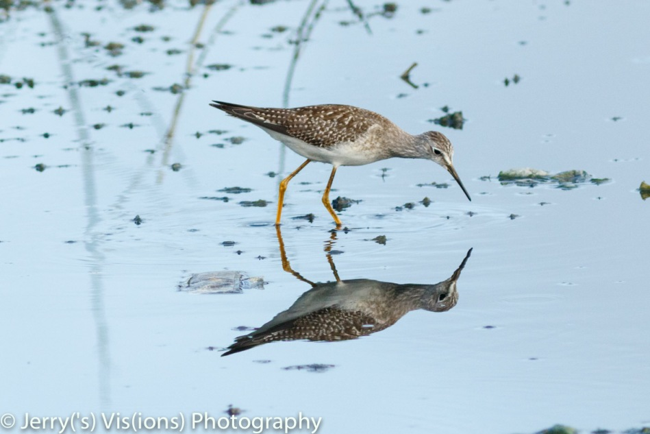 Lesser yellowlegs and reflection
