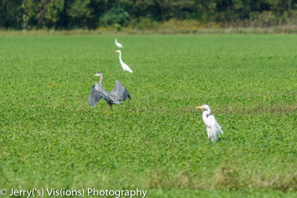 Great blue heron and great egrets