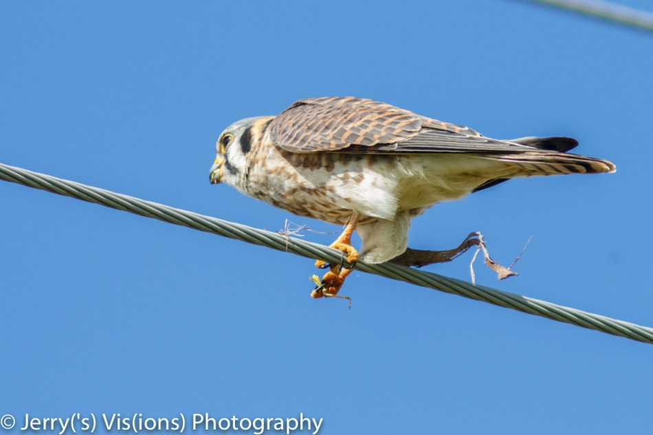 American kestrel eating a grasshopper