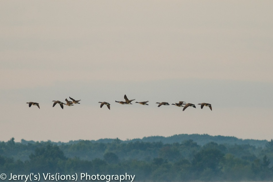 Canada geese in flight over foggy hills