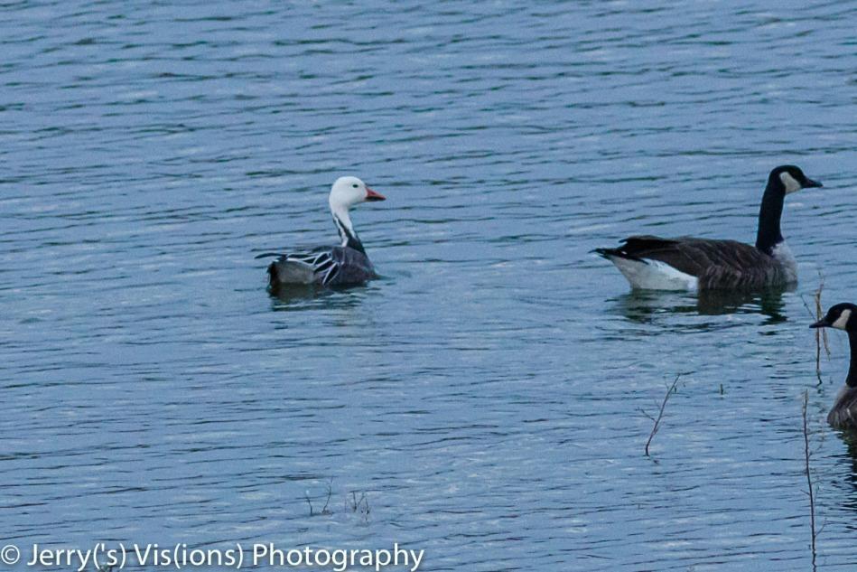Blue goose morph snow goose
