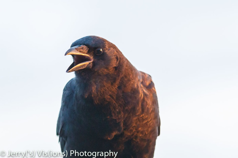 American crow at dawn