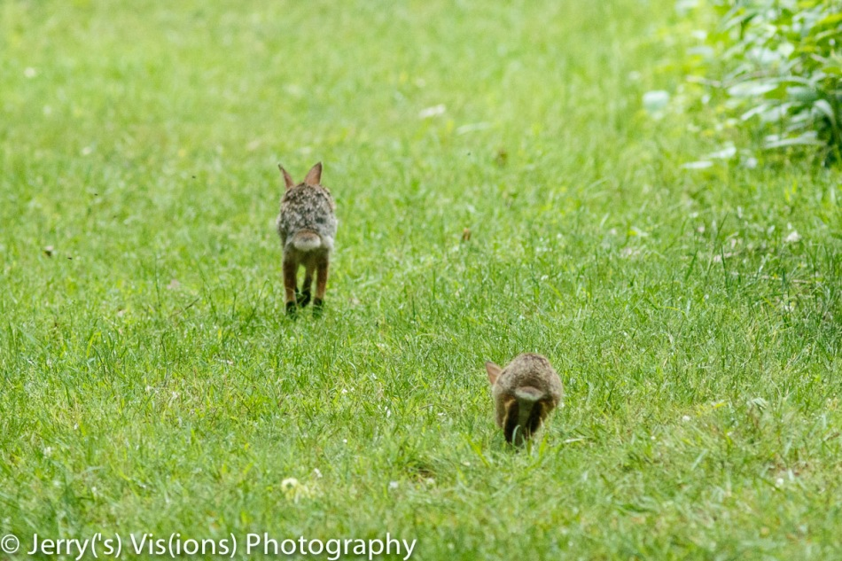 Young cottontail rabbit and mother