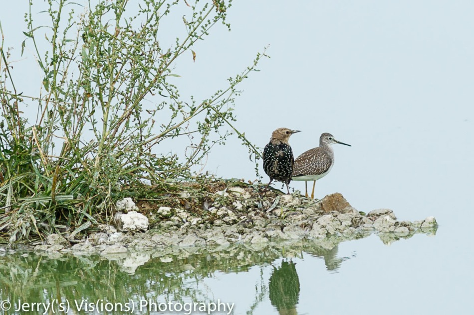 Starling and lesser yellowlegs sharing an island