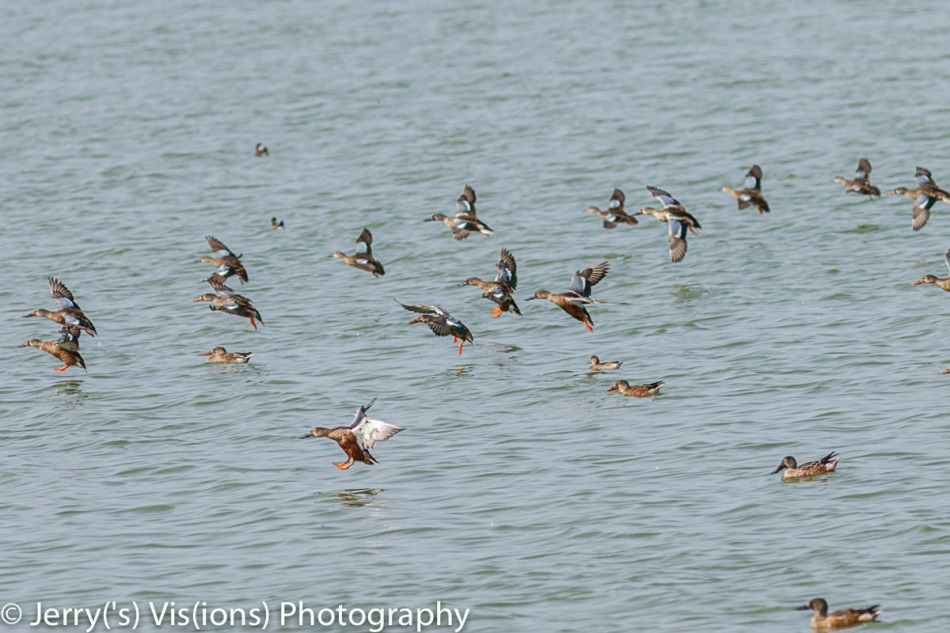 Northern shovelers in flight