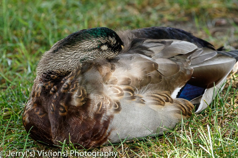 Sleeping male mallard