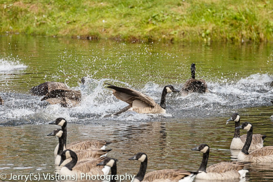 Canada goose splashdown