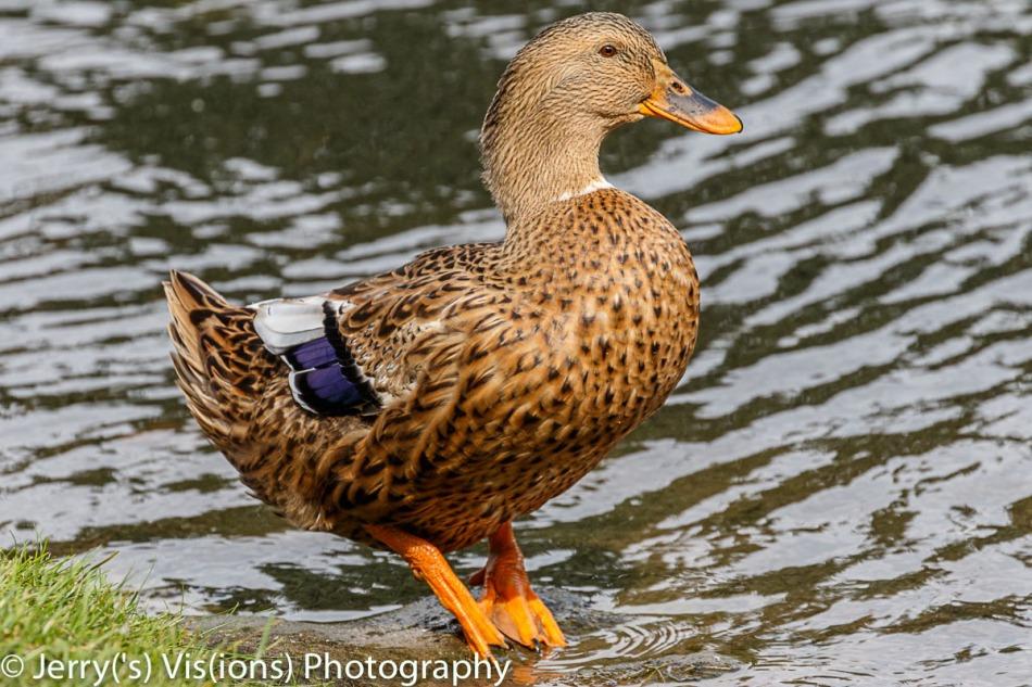 Mallard X Black duck hybrid