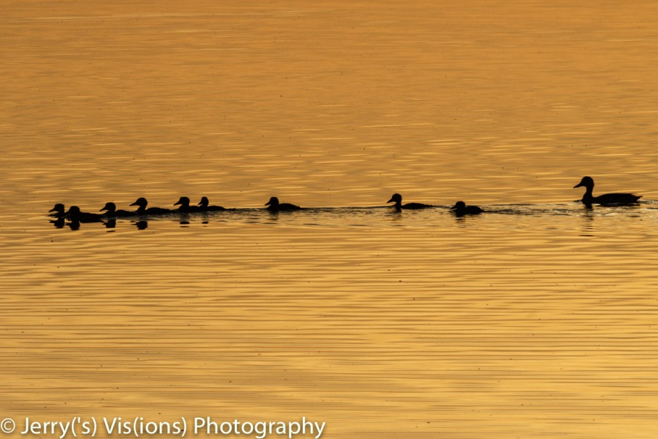 Ducklings at dawn