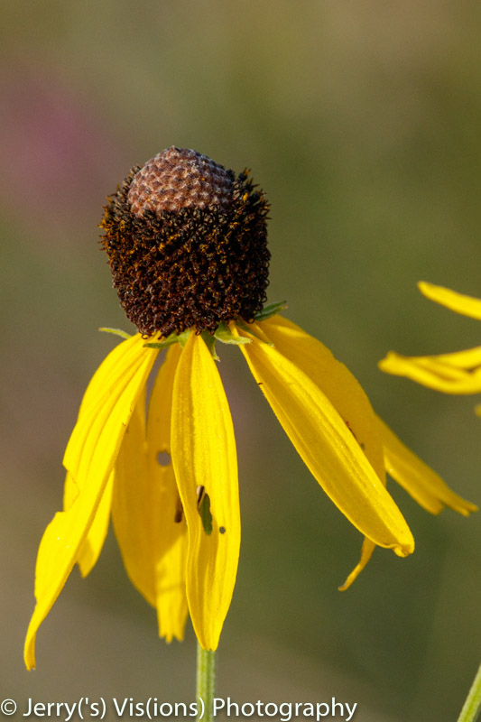 Grey coneflower
