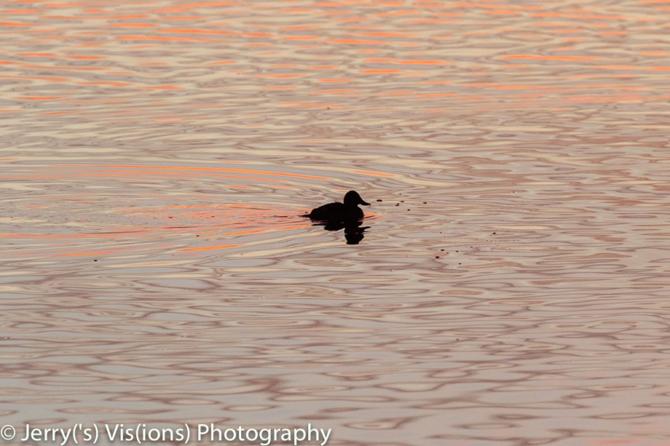 Ruddy duck at dawn