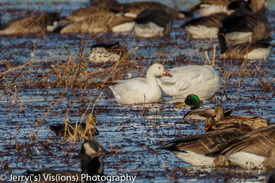 Snow geese, white morph
