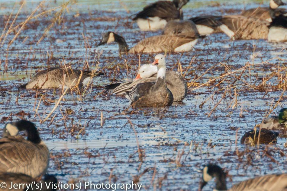 Snow geese, blue morph
