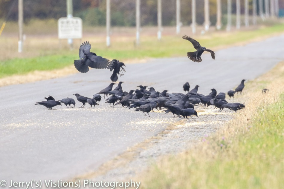 American crows finding a bonanza