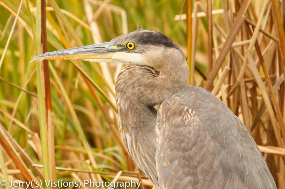 Juvenile great blue heron, 800 mm and not cropped