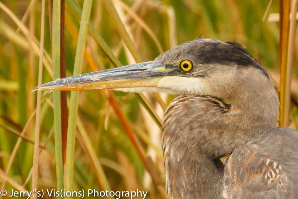 Juvenile great blue heron, 800 mm and cropped slightly