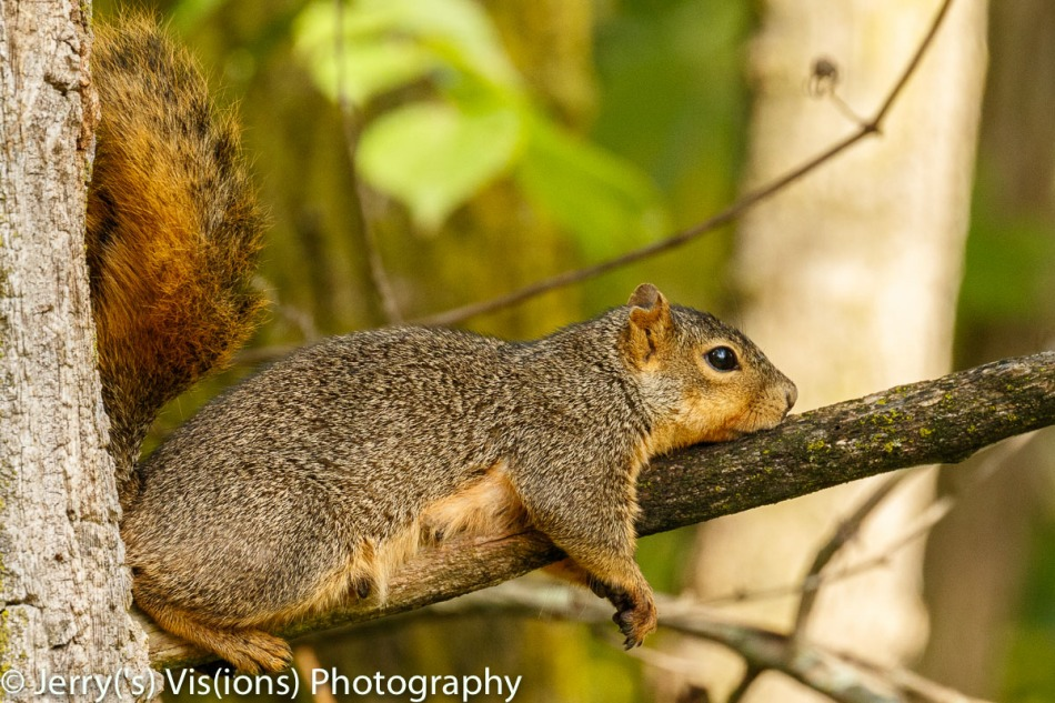 Female Fox squirrel chill-laxin'