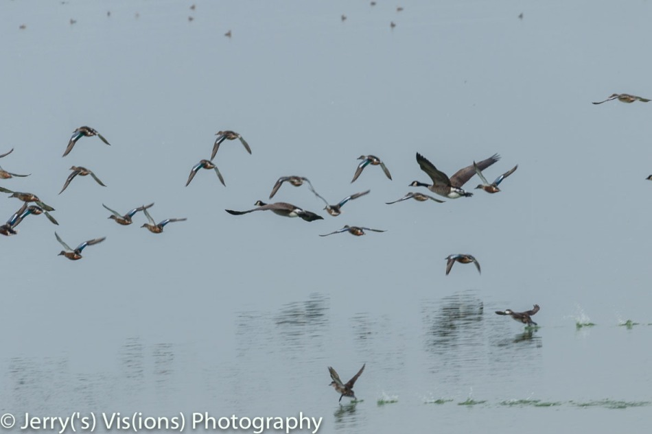 Assorted waterfowl in flight