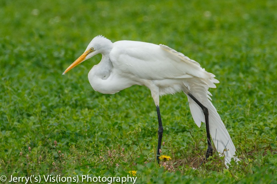 Great egret yoga
