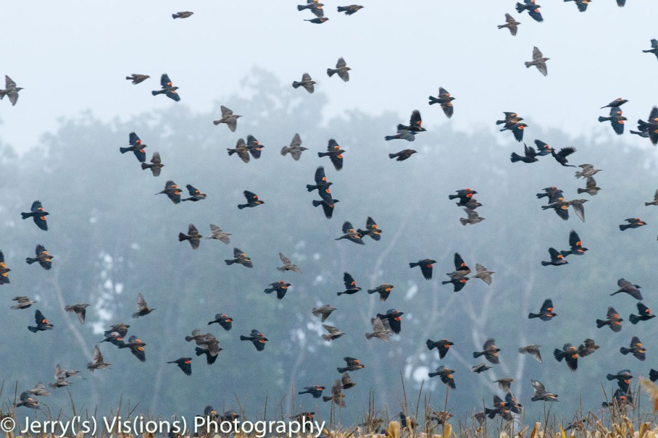 Red-winged blackbirds in flight